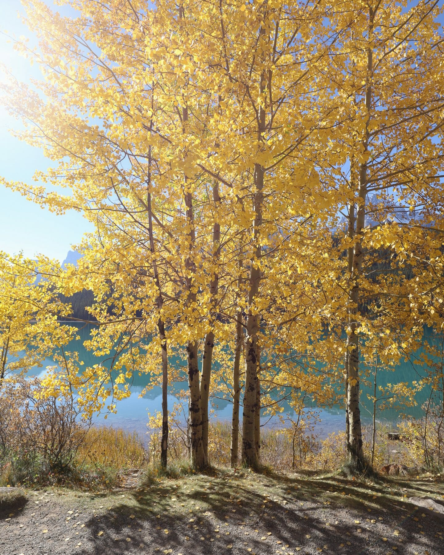 Golden Larch Trees Banff