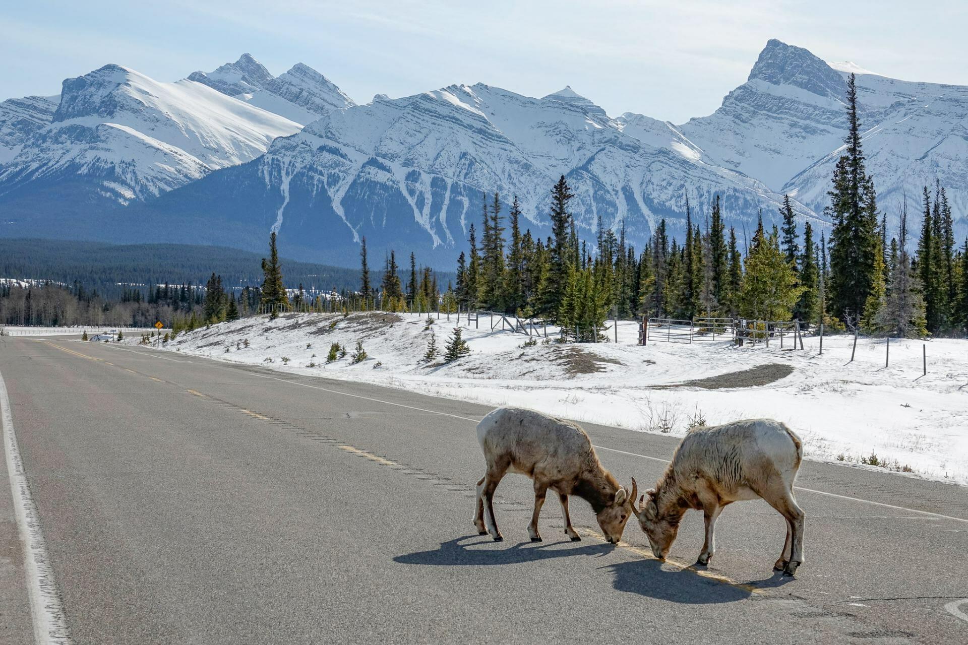 Wildlife on Icefields Parkway