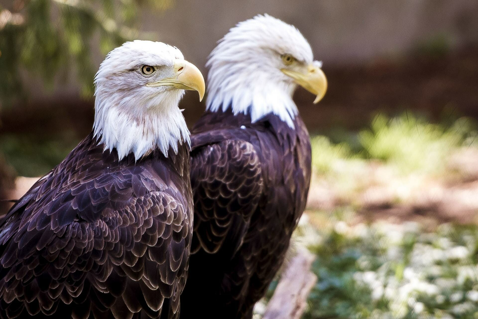 Eagle watching is one of the best things to do in Squamish