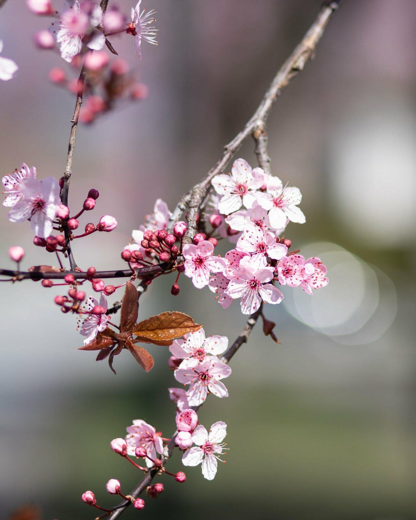 Cherry Blossom Vancouver