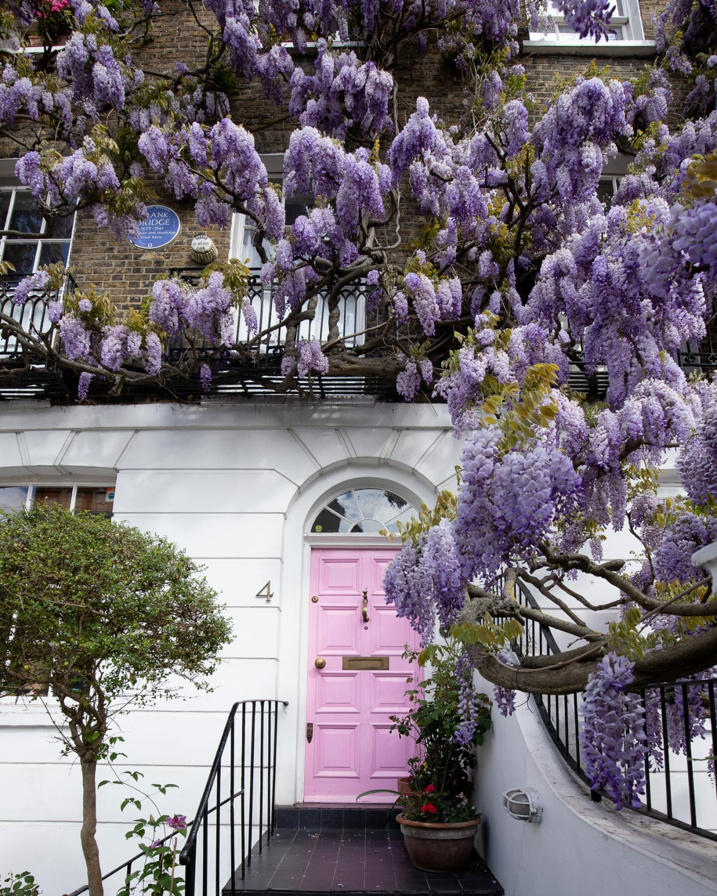 Popular spot to see wisteria in London